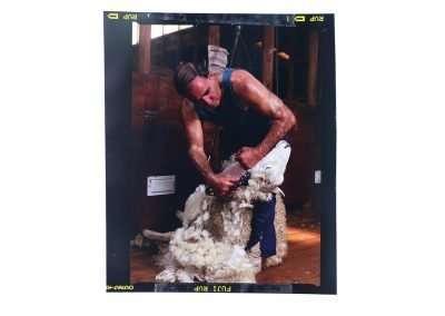 Man shearing sheep © Yvonne van Leeuwen